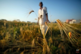 An Indian farmer looks at wheat crop that was damaged in unseasonal rainfall and hailstorm at village Hathoj, outskirts of Jaipur, Rajasthan state, India, Tuesday, March 17, 2015. The recent rainfall over large parts of northwest and central India has massively damaged standing crops. (AP Photo/Deepak Sharma)