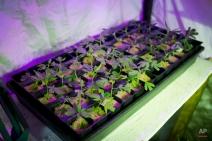 In this March 12, 2015 photo, marijuana grows in a hydroponics garden inside an apartment in Mexico City. (AP Photo/Eduardo Verdugo)