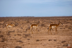 """A trio of peninsular pronghorns roam in a large fenced area managed by Mexico's Peninsular Pronghorn Recovery Plan, near Guerrero Negro, Mexico's Baja California peninsula, March 3, 2015. The peninsular pronghorn, one of the oldest known mammals on the American continent, is known locally as """"los fantasmas del desierto,"""" or """"ghosts of the desert,"""" because the color and markings of their fur provide for excellent camouflage in the surrounding desert terrain. (AP Photo/Dario Lopez-Mills)"""