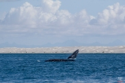 A gray whale breaches the surface as another swims nearby in the Pacific Ocean waters of the San Ignacio lagoon, near Guerrero Negro, in Mexico's Baja California peninsula, March 3, 2015. Every year, an estimated 20,000 gray whales make one of the longest migrations of any mammal, from the Bering Sea to the warmer waters of Baja's lagoons. (AP Photo/Dario Lopez-Mills)
