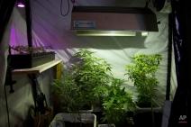 In this March 12, 2015 photo, marijuana grows in a hydroponic garden inside an apartment in Mexico City. (AP Photo/Eduardo Verdugo)