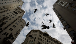 Birds fly in downtown Buenos Aires, Argentina, Thursday, Oct. 2, 2014. (AP Photo/Natacha Pisarenko)