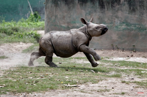 Jalada Prasad, about six-month-old male Indian one-horned rhino, runs around his enclosure on his debut to the public at Alipore Zoological Garden in Kolkata, India, Friday, March 27, 2015. The forest guards rescued Prasad when poachers at Jaldapara forest in north Bengal killed his mother in November 2014. He was brought to the zoo in January 2015 and was kept under strict vigil and nourishment, according to a zoo spokesperson. (AP Photo/Bikas Das)