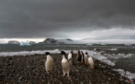 """In this Jan. 27, 2015 photo, penguins walk on the shore of Bahia Almirantazgo in Antarctica. """"Antarctica is big and it's changing and it affects the rest of the planet and we can't afford to ignore what's going on down there,"""" said David Vaughan, science director of the British Antarctic Survey. (AP Photo/Natacha Pisarenko)"""