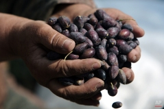 A Palestinian woman sorts olives during the olive harvest in the West Bank village of Kabatyeh, near Jenin, Oct. 8, 2012. (AP Photo/Mohammed Ballas)