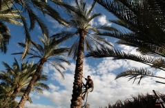 A Palestinian farm worker climbs a palm tree to pick dates on a farm in Deir El Balah, southern Gaza Strip, Oct. 7, 2013. (AP Photo/Hatem Moussa)
