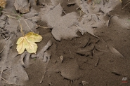 Leaves sit on ground covered by volcanic ash from Chile's Calbuco volcano in Villa La Angostura, southern Argentina, Thursday, April 23, 2015. The volcano in Southern Chile has erupted after being dormant for about half a century on Wednesday, sending a thick plume of ash and smoke several kilometers into the sky. (AP Photo/Federico Grosso)