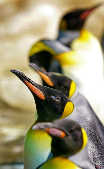 King Penguins are seen in an enclosure at the Singapore Bird Park on April 16, 2008, in Singapore. King Penguins take 14 -16 months to fledge a single chick and each adult can rear a maximum of only two chicks every three years. (AP Photo/Wong Maye-E)