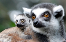 A 2-week old Ring-tailed Lemur clings on to its mother at the Singapore Zoo, March 26, 2010 in Singapore. The endangered Ring-tailed Lemur babies were born in the city-state's zoo which is a strong supporter of wildlife preservation through educational programs to members of the public. (AP Photo/Wong Maye-E)
