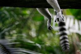 A Ring-tailed Lemur rests on a tree branch at the Singapore Zoo, March 26, 2010 in Singapore. (AP Photo/Wong Maye-E)