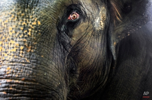 Nandong, a 25-year old elephant mother, watches closely as her 2-week old male baby elephant explores at the Singapore Zoo's Night Safari on Dec. 10, 2010 in Singapore. (AP Photo/Wong Maye-E)