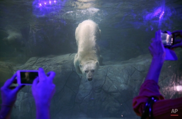 Visitors make pictures of Aurora the Russian polar bear swimming in her tank at the Sao Paulo Aquarium, in Sao Paulo, Brazil, Thursday, April 16, 2015. Two Russian polar bears, Aurora and Peregrino, were moved from the Kazan Zoo and arrived in the South American country in December. After four months of adaptation the two bears made their public debut Thursday. (AP Photo/Andre Penner)