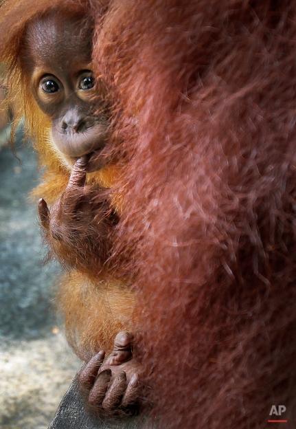 Bino, one-year-old Sumatran Orangutan, peeps from behind his mother on April 10, 2012 at the Singapore Zoo in Singapore. (AP Photo/Wong Maye-E)