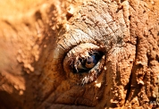 The eye of a mud covered female African Southern Rhino named Shova is seen at the Singapore Zoo on July 17, 2012 in Singapore. (AP Photo/Wong Maye-E)