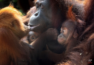 Two under a year old baby Bornean orangutans, second left and right, cling on to their mother while another 3-year-old orangutan kisses her, Oct. 3, 2013, at the Singapore Zoo. (AP Photo/Wong Maye-E)