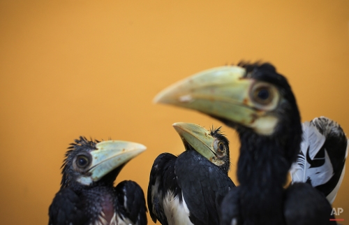 Three 2-month old Oriental Pied Hornbills are displayed at the Jurong Bird Park's Breeding and Research Center in Singapore, March 8, 2013. These three birds were hatched after a successful artificial incubation at the bird park after their eggs were rescued on an off-shore island in Singapore. This is all part of the park's efforts in preserving and educating the public about its wildlife and wildlife reserves. (AP Photo/Wong Maye-E)