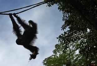 A Bornean Orangutan hangs from a vine as he feeds, March 6, 2013 in Singapore. (AP Photo/Wong Maye-E)