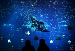 People are silhouetted against the glass of an aquarium while a Giant Manta Ray swims past at the Resorts World Sentosa's Marine Life Park in Singapore, Jan. 18, 2012. (AP Photo/Wong Maye-E, File)