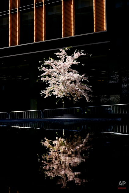A tree in full bloom is reflected in a water feature outside a new office block just north of King's Cross railway station, London, April 14, 2015. (AP Photo/David Azia)