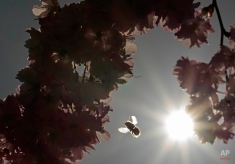 A bumblebee approaches a blooming almond tree in Erfurt, central Germany, Wednesday, April 15, 2015. The weather forecast predicts temperatures up to 26 Celsius (79F) in Germany. (AP Photo/Jens Meyer)