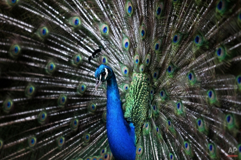 A peacock displays its tail feathers at the Tropical Botanic Garden in Lisbon, April 8, 2015. (AP Photo/Francisco Seco)