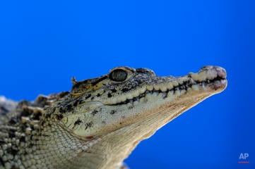 A young Cuban crocodile stands in a quarantined enclosure at the National Zoo in Havana, Cuba, Wednesday, May 27, 2015. Ten young female crocodiles were donated to Cuba by the Skansen Zoo in Stockholm where they were born and will be shortly returned to the Zapata swamp in central Cuba. Former Cuban leader Fidel Castro made a gift of a couple of crocodiles in the 1980's to Soviet cosmonaut Vladimir Shatalov who donated them to the Zoo in Moscow which in turn donated them to Skansen Zoo. (AP Photo/Desmond Boylan)