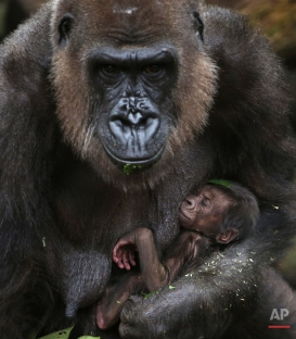 A baby Western lowland gorilla clings to its mother, Frala, at Taronga Zoo in Sydney, Tuesday, May 19, 2015. The baby is believed to have been born late Tuesday or early Wednesday last week and the sex has yet to be determined. (AP Photo/Rick Rycroft)