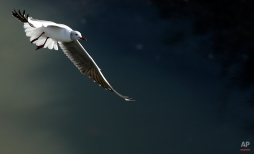 A Grey-headed Gull flies over the Jukskei river at Alexandra township inJohannesburg, South Africa, Thursday, May 7, 2015. (AP Photo/Themba Hadebe)