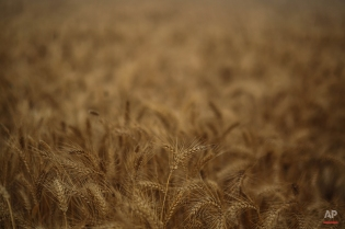 Wheat grains ready for harvest are pictured in a farm, in a village in the Nile Delta town of Behira, 300 kilometers (186 miles) north of Cairo, Egypt, Thursday, May 7, 2015. (AP Photo/Mosa'ab Elshamy)