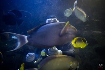 A volunteer diver hand-feeds fish at the Newport Aquarium, Monday, May 4, 2015, in Newport, Ky. (AP Photo/John Minchillo)