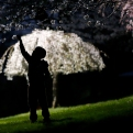 A young boy reaches up for a cherry blossom while a smaller tree is lit up by a a street lamp at Branch Brook Park, Tuesday, April 21, 2015, in Newark, N.J. (AP Photo/Julio Cortez)