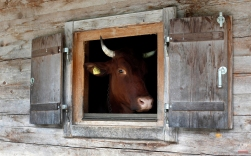 A cow looks out a window at the alpine dairy Bindalm near Berchtesgaden, southern Germany, July 11, 2013. (AP Photo/Matthias Schrader)
