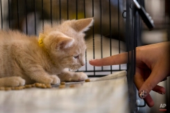 In this Saturday, June 6, 2015 photo, a kitten for adoption interacts with an attendee at the CatConLA in Los Angeles. Cats were not the stars of the cat convention, their humans were. They came in droves, dressed to the nines, pumped and ready to talk about cats, act like cats and embrace or buy all things cat. (AP Photo/Jae C. Hong)
