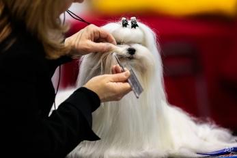 A Maltese dog gets prepared for a presentation at an International dog show in Schoenefeld near Berlin, Germany, March 30, 2014. (AP Photo/Markus Schreiber)