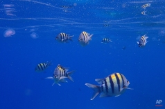 Sergeant major fish, a species of damselfish, swim near the surface of the Red Sea in the resort town of Sharm el-Sheikh, south Sinai, Egypt, June 28, 2015. (AP Photo/Hassan Ammar)