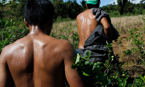 In this June 20, 2015 photo, laborers walk through a field with bags used for carrying harvested coca leaves, in Samugari, Peru. Nearly all the coca they pick ends up being processed into cocaine, and many worry that the government will finally begin destroying the crop, as it has elsewhere. (AP Photo/Rodrigo Abd)