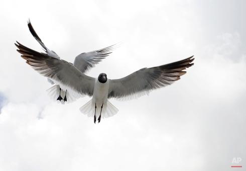 Sea gulls follow a Bolivar Ferry looking for handouts, June 25, 2015, off Galveston, Texas. (AP Photo/Pat Sullivan)