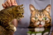 In this Saturday, June 6, 2015 photo, celebrity cat Lil Bub pauses for photos with attendees at the CatConLA in Los Angeles. (AP Photo/Jae C. Hong)