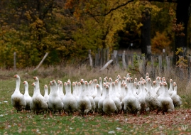 Geese run over a pasture at the farm Ruden near Neu Fahrland, eastern Germany, Wednesday, Oct. 23, 2013. The poultry is grown until Christmas when it will be sold. (AP Photo/dpa, Ralf Hirschberger)