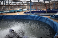 In this Tuesday, June 2, 2015 photo, a Palestinian worker feeds fish in a pool at Fish Fresh fish farm, in the town of Rafah, southern Gaza strip. (AP Photo/Khalil Hamra)