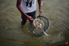 In this Wednesday, June 3, 2015 photo, a Palestinian worker displays shrimps from a pool at a fish farm, in the town of Rafah, southern Gaza strip. (AP Photo/Khalil Hamra)