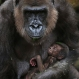A baby Western lowland gorilla clings to its mother, Frala, at Taronga Zoo in Sydney, Tuesday, May 19, 2015. (AP Photo/Rick Rycroft)