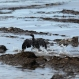 A bird covered in oil flaps its wings at Refugio State Beach, north of Goleta, Calif., Thursday, May 21, 2015. (AP Photo/Jae C. Hong)