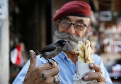 Abu Farouk, 70, feeds his nightingale named 'Zico,' a local Lebanese pastry in front of his coffee shop in Hamra street, Beirut, Lebanon, July 22, 2015. (AP Photo/Hassan Ammar)