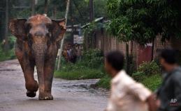 A confused wild male elephant, who got separated from his herd, chases people on a road as it crosses a highway on the outskirts of Gauhati, India, Thursday, Aug. 20, 2015. The herd of wild elephants was coming down from a nearby hill of India's northeastern state of Meghalaya on the outskirts of Gauhati, the capital of Assam state. As the pressure of population pushes human habitation closer to forests incidents of wild animals straying into cities is increasingly reported. No incident involving the wild elephant was reported. (AP Photo/Anupam Nath)