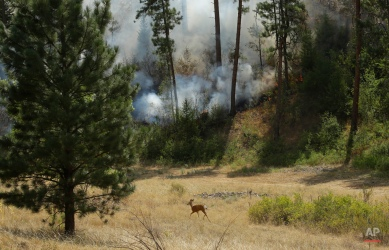 A deer runs through an area burning in a wildfire near Twisp, Wash. Friday, Aug. 21, 2015. Massive wildfires expanding across the arid state have so overtaxed firefighters that the federal government declared an emergency and state officials took the unprecedented step of seeking volunteers to help fight the flames. (AP Photo/Ted S. Warren)