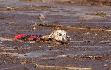 A cadaver dog swims through mud and debris during a search for the remaining victim of a flash flood Thursday, Sept. 17, 2015, in Hildale, Utah. The flood water swept away multiple vehicles in the Utah-Arizona border town, killing several people. (AP Photo/Rick Bowmer)