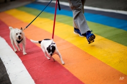 A man walks with his dogs across a rainbow painted crosswalk in midtown to commemorate this weekend's annual Atlanta Pride parade Friday, Oct. 9, 2015, in Atlanta. The pride parade is one of the oldest in the country and the largest pride event in the southeast. (AP Photo/David Goldman)