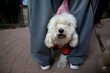A dog stands between the legs of his owner who talks with borough officials outside the gate of a popular dog run, currently closed as officials investigate reported cases of dog poisoning in Parque Mexico in the Condesa neighborhood of Mexico City, Tuesday, Oct. 6, 2015. (AP Photo/Rebecca Blackwell)