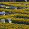 Guests take cover from the rain under umbrellas as they walk through a labyrinth of 125,000 sunflowers, to mark the opening of the new entrance to the Van Gogh museum and the 125th anniversary of the Dutch master's death in Amsterdam, Netherlands, Friday, Sept. 4, 2015. (AP Photo/Peter Dejong)